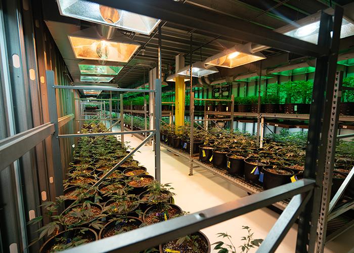 Großes Wachstumspotenzial im Cannabis Sektor