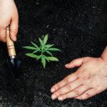 Duenger für Cannabispflanzen
