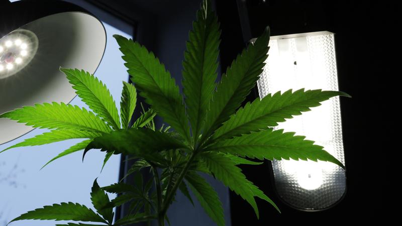 CDL Energiesparlampe als Cannabis Beleuchtung